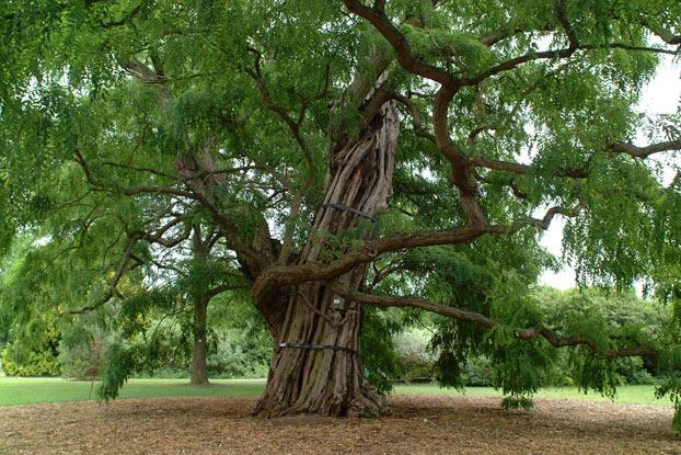 Robinia Tree